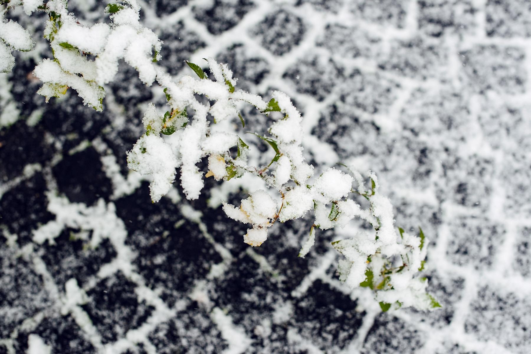 Branche d'arbuste dont les feuilles encore verte sont recouvertes de neige fraiche