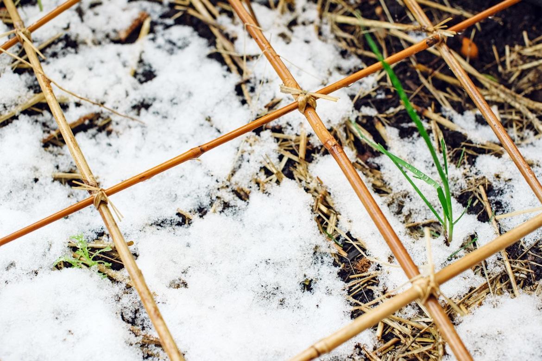 Petites pousses vertes émergeant d'une fine couche de neige fraîche