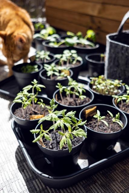 Jeunes plants de tomates et de courgettes, quelques semaines après les semis