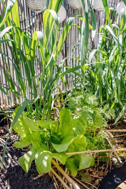 Salades et céréales qui poussent spontanément dans une jardinière de balcon