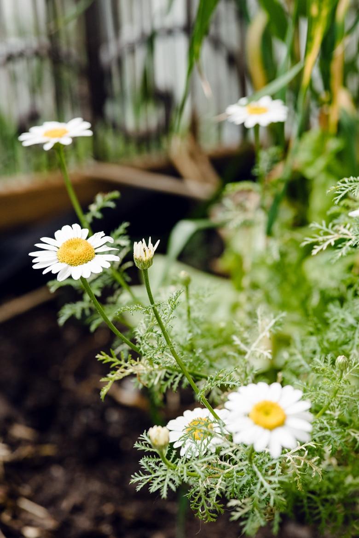 Camomille qui pousse spontanément dans une jardinière de balcon