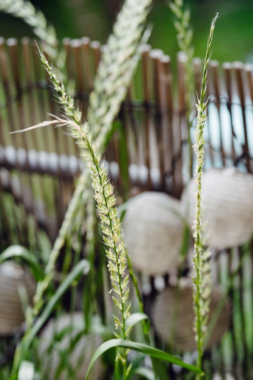 Céréales qui poussent spontanément dans une jardinière de balcon