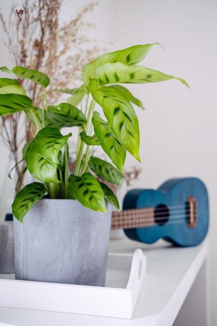 Calathea et ukulele bleu