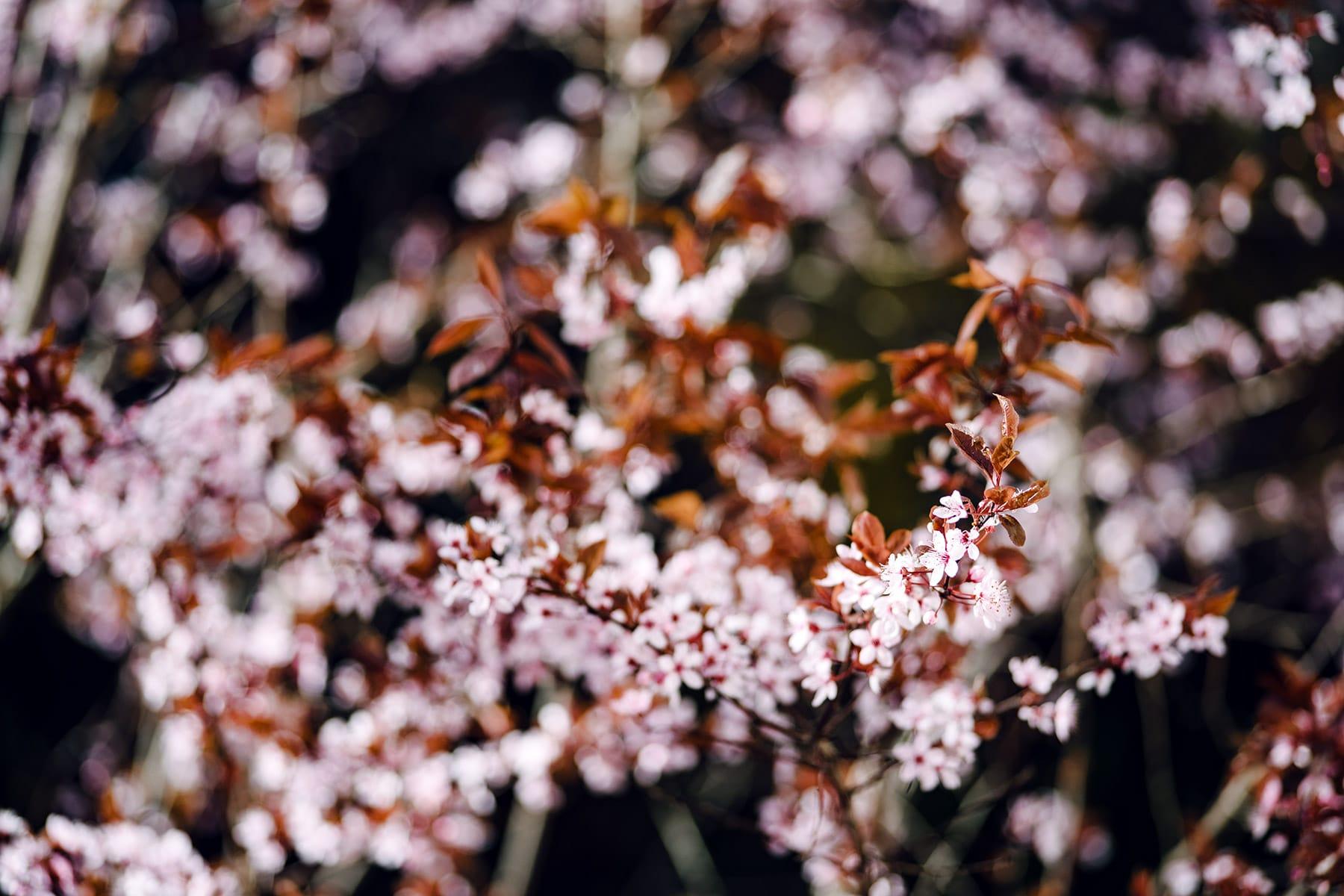 Branches d'un prunus recouvertes de fleurs rose pâle