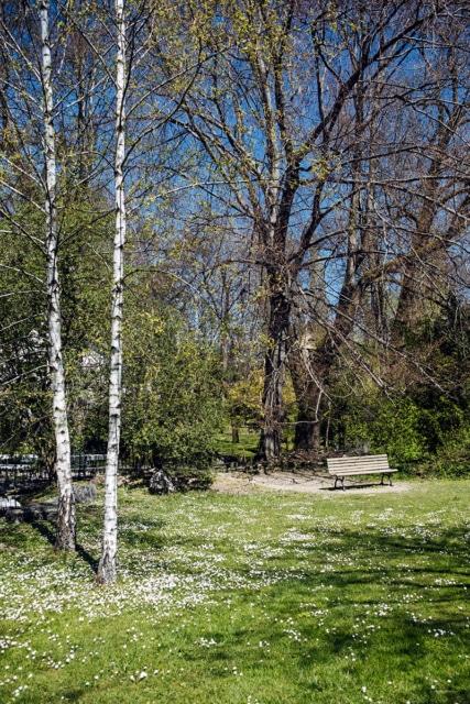 Deux bouleaux, un banc et des pâquerettes dans un petit parc de Bienne