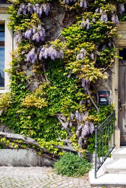 Façade d'une maison recouverte de glycine en fleurs