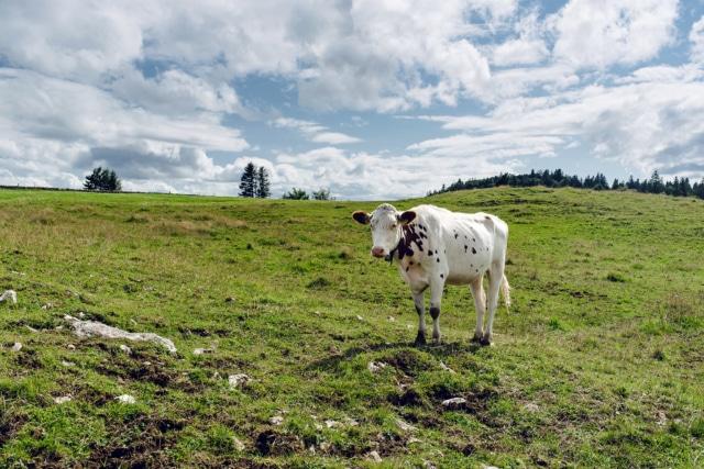 Vache blanche et brune dans un pâturage de la Montagne de Granges